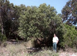 Big Trees: Evergreen sumac