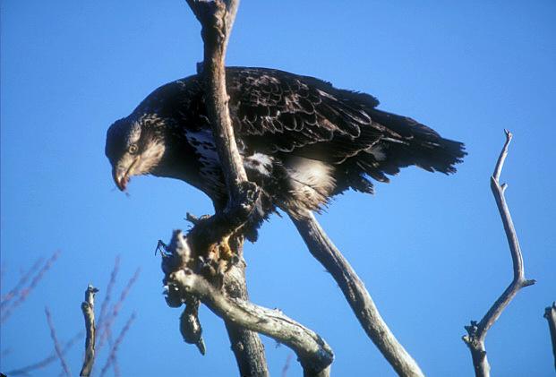 Bald Eagle Eating Duck Bald Eagle Eating a Bufflehead
