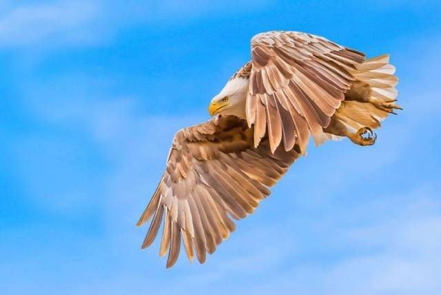 3-09 leucistic eagle