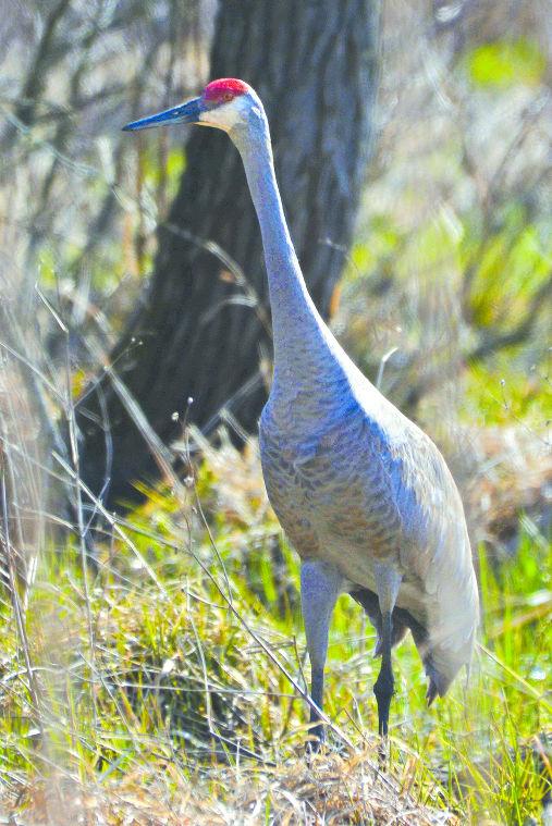 Living on Earth: The Herons Return