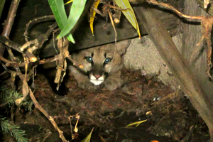 Mountain lion pair in Half Moon Bay