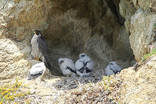 peregrine chicks take flight local news stories
