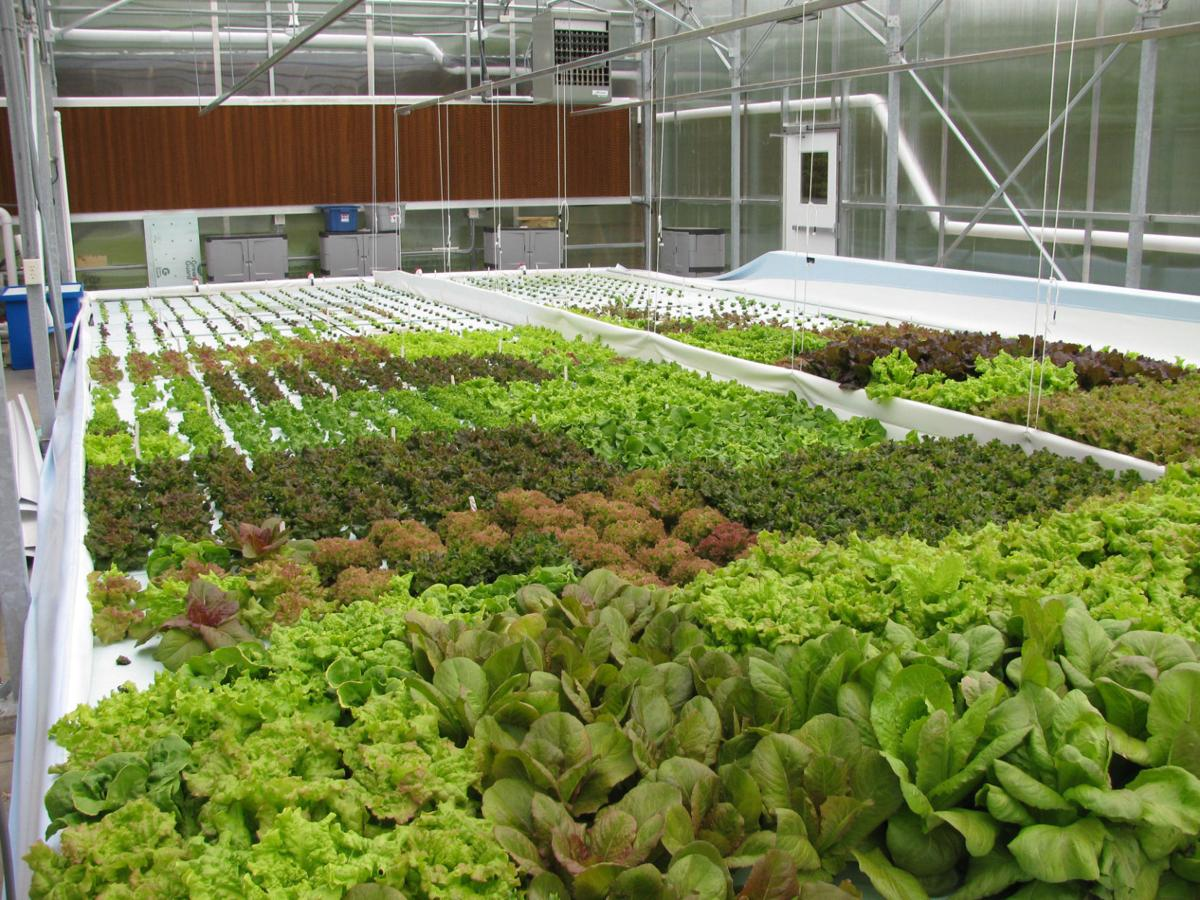 Tank to table aquaponics business aims to set up in an for Tilapia aquaponics