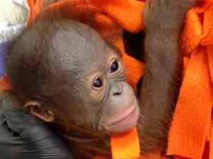 Photos: Awww!! Baby orangutan born at Henry Vilas Zoo