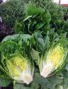In Season: Little Gem lettuce