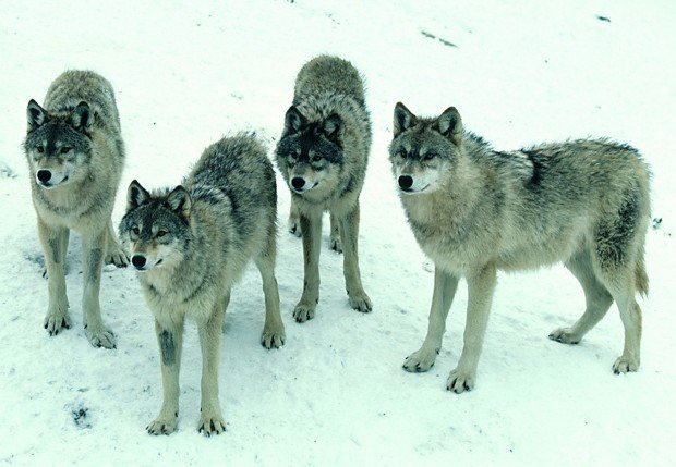Wolfpack file photo