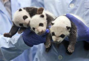 Photos: Rare triplet panda cubs born in China