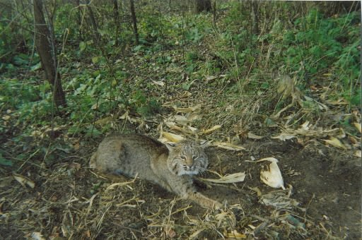 Bobcats Making Way To Southern Wisconsin Outdoors Host