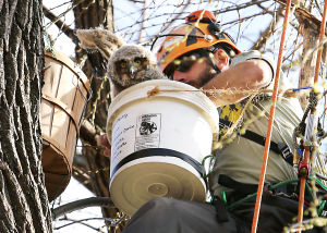 Photos: Owl re-nested in Waunakee