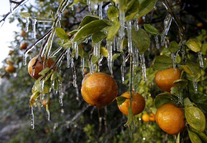 Just ask us why do orange growers spray their crops with water on freezing nights local news - Protecting fruit trees in winter ...