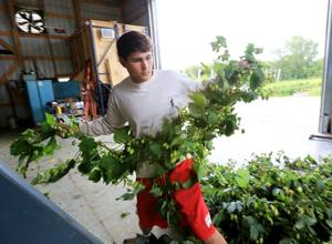 Photos: Local hop harvest begins