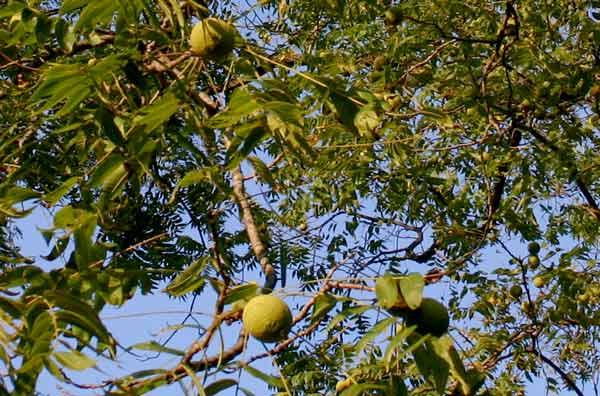 Thieves Targeting Walnut Trees In Rural Areas Local News