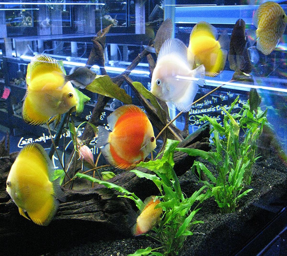 Fish in aquarium stores - Freshwater Discus