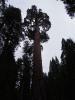 Cheif Tall Tree