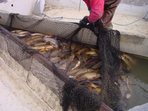Carp for sale idfg considers paying fishermen to remove for Lake lowell fishing