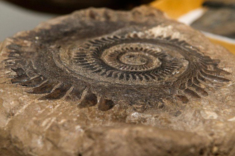 Closeup of Helicoprion Fossil
