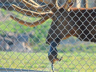 Elk rescues marmot
