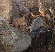 160301scl bobcat