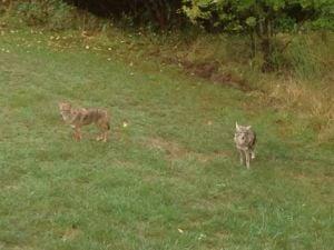 Coyotes in Dumfries