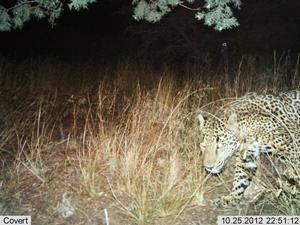 Jaguar in Santa Ritas