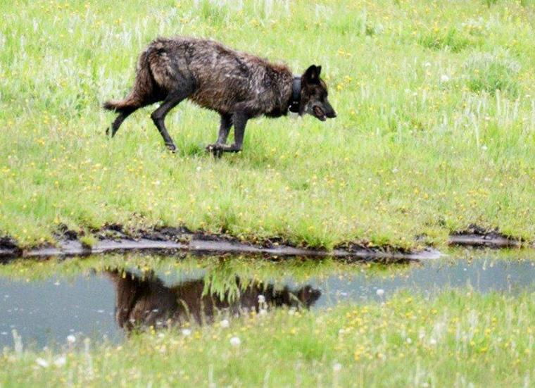 Andy Ostmeyer: Yellowstone changes beg question about role of red wolf