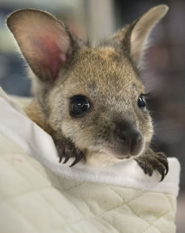 Zookeepers Hand Raising Baby Wallaby Lincoln Ne Journal
