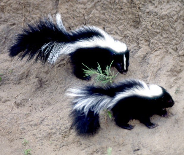 Family Needs Rabies Shots After Cat Fights Skunk Local