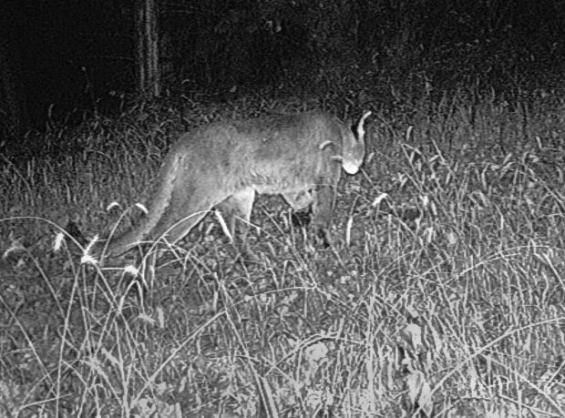 Mountain Lion Spotted By Nebraska Trail Camera Local