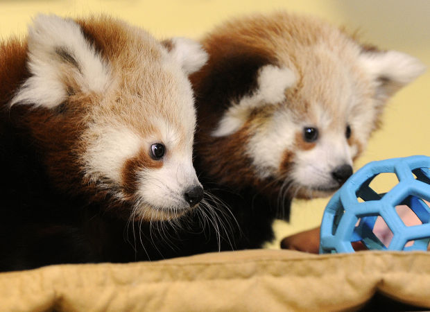 Red Panda Cubs Named After Two Famous Nebraskans Local