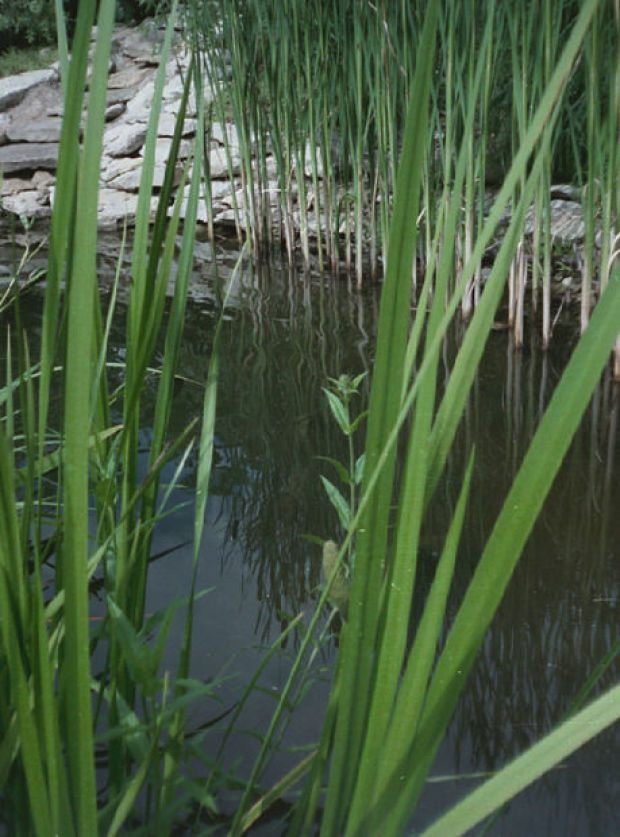 Build a pond to attract wildlife grow native plants the for Native pond plants