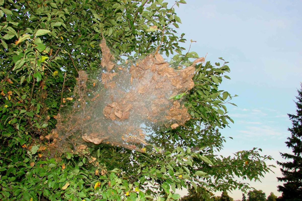 Simply Trees Fall Webworms Are Already Beginning Their