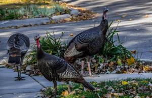 Photos: Lincoln's backyard critters, now with turkeys