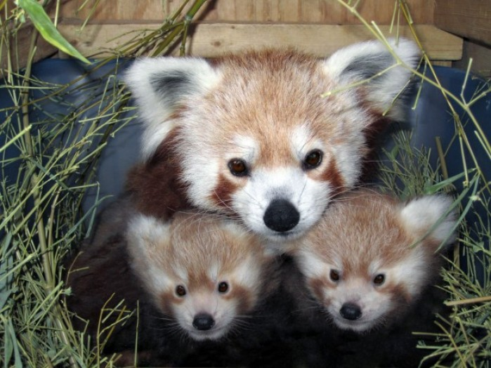 It S Twins Zoo S Red Panda Sophia Gives Birth Lincoln