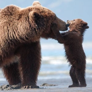 Review: Disneynature gets up close, personal and cute with 'Bears'