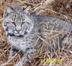 Nebraska Trapper Catches Bobcat Tagged In Iowa Sports