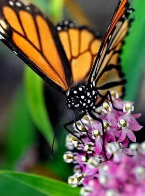 Milkweed by the masses: Nebraska eyes new habitat goal for monarchs, other pollinators