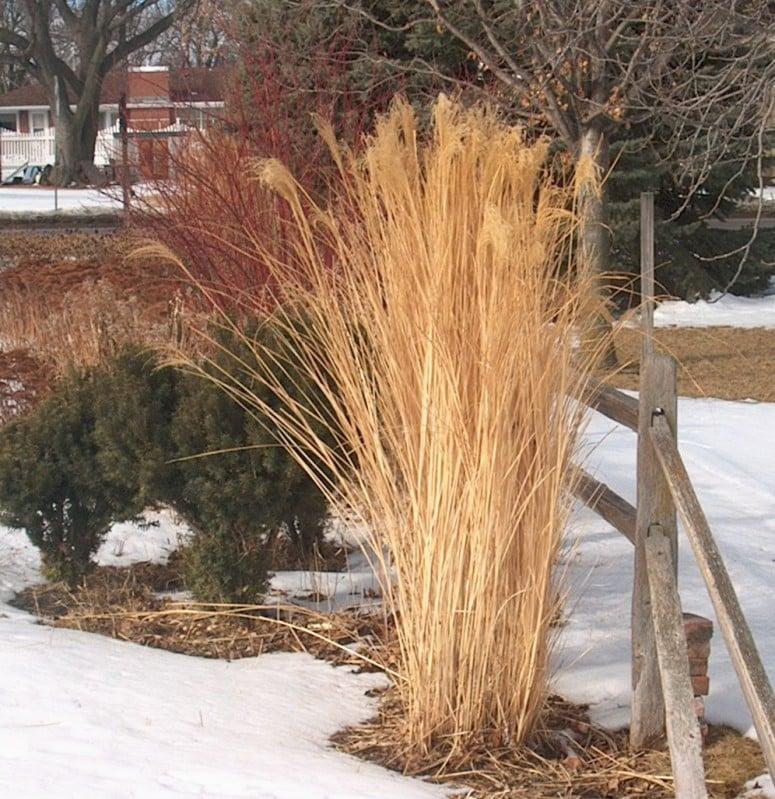 bleak winter landscapes give pretty grasses their season. Black Bedroom Furniture Sets. Home Design Ideas