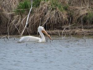A pelican swims