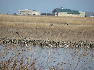 Mallards and pintails