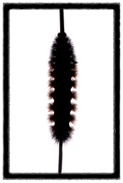 Wooly worm Winter weather prediction