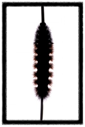 Wooly worm Winter weather prediction - Kentucky New Era: Home