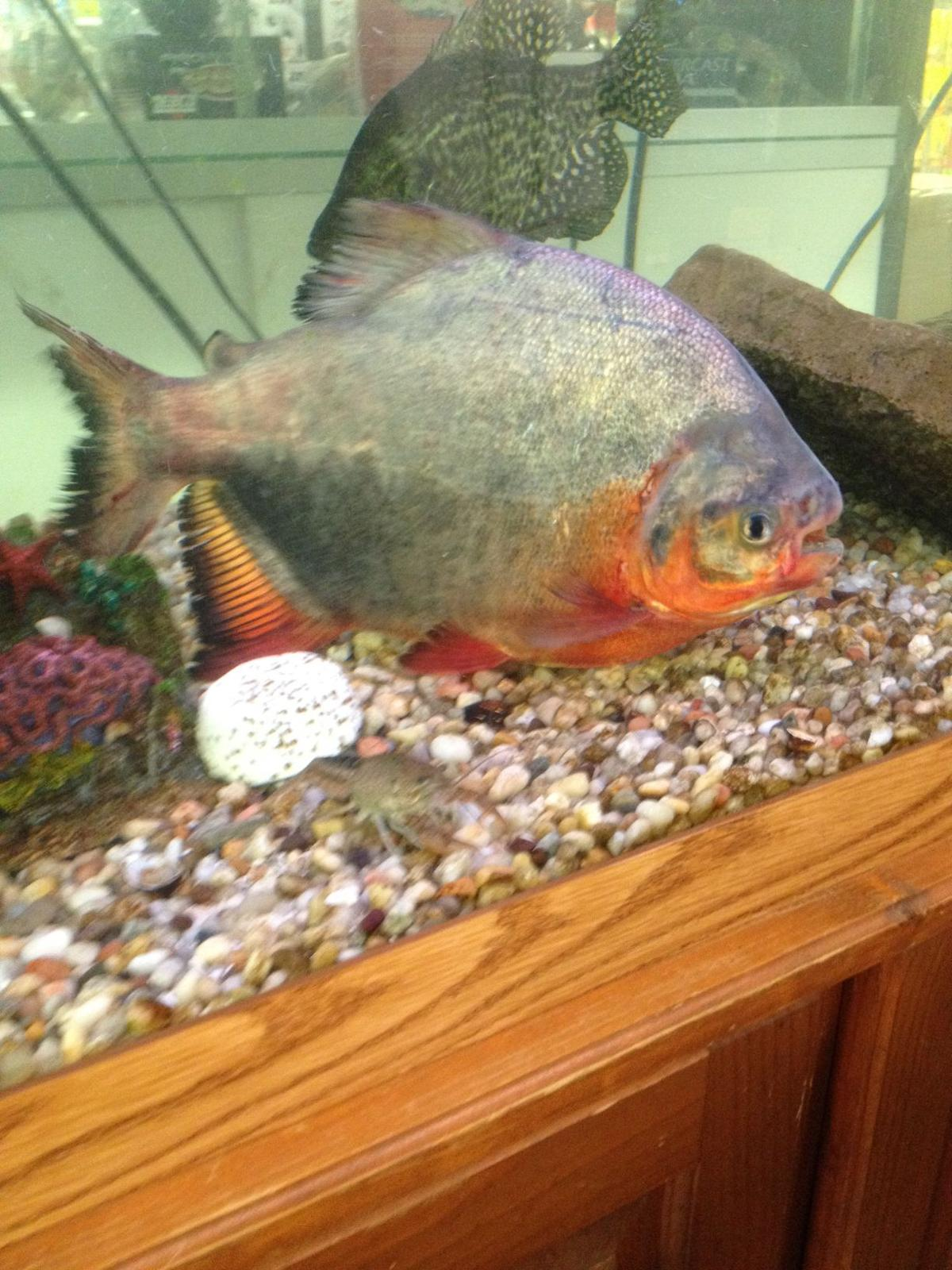 Freshwater fish amazon - Red Bellied Pacu