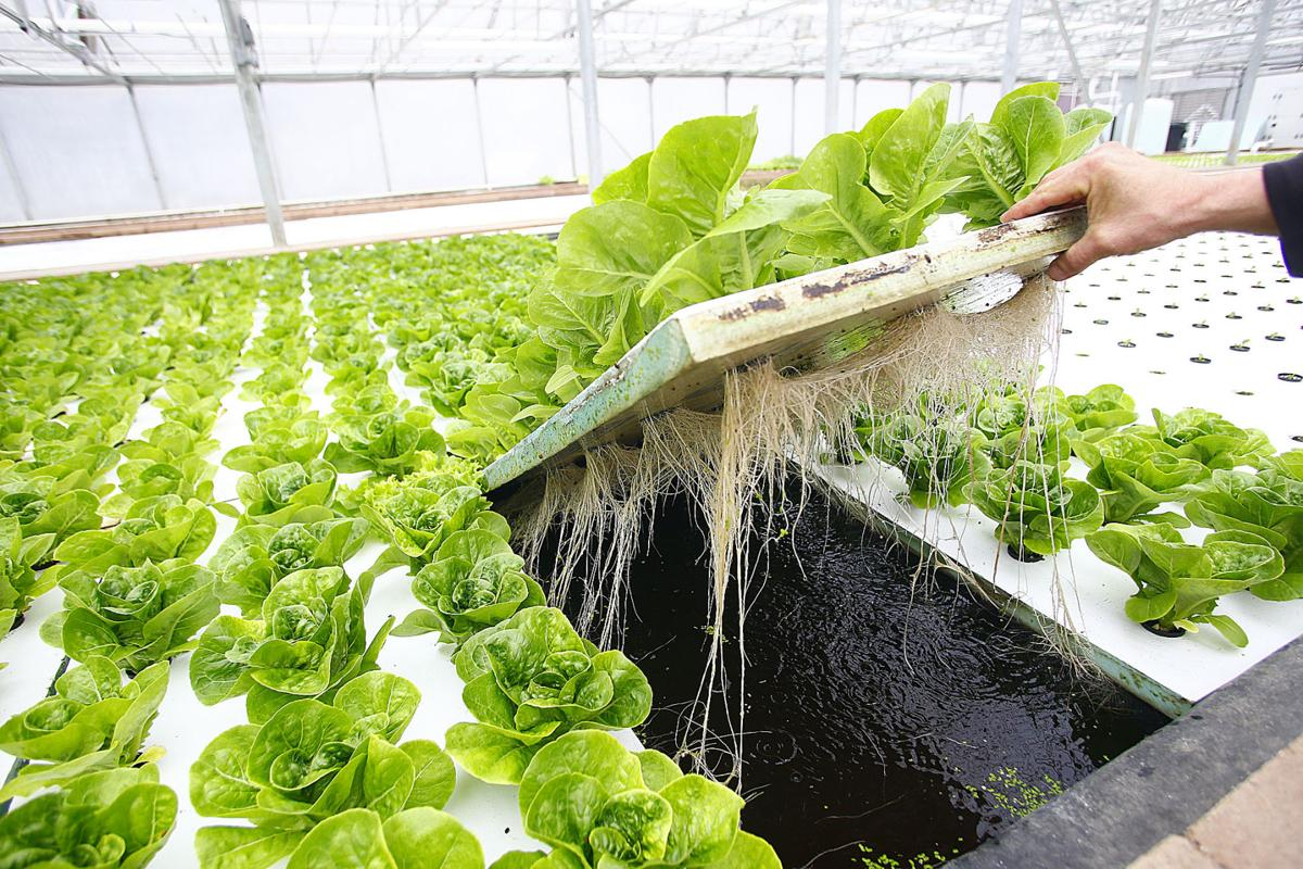 Green river greenhouse thriving after overhaul news for Tilapia aquaponics