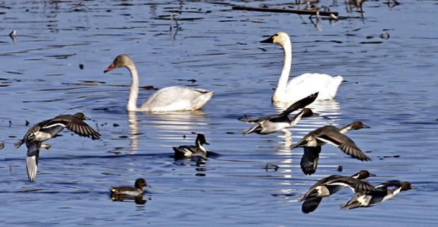 Ridgerunner reports coulee region welcomes tundra swans for Knights landing fishing report