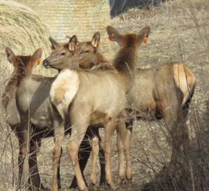 Cranberry growers concerned over elk damage