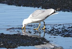 It's a gull-eat-fish world on the Black River