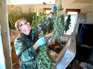 Vernon County authorities uncover $250,000 pot operation