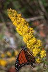 Federal funds aim to boost migrating monarch butterflies