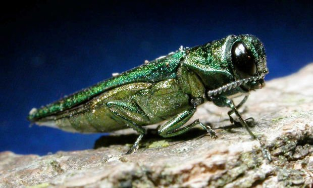 Emerald Ash Borer found in towns of Viroqua, Jefferson