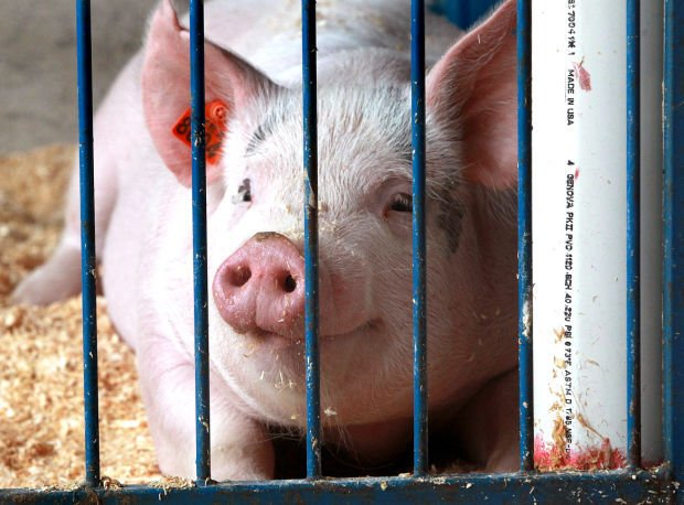Pig virus precaution cuts into hog numbers at fair